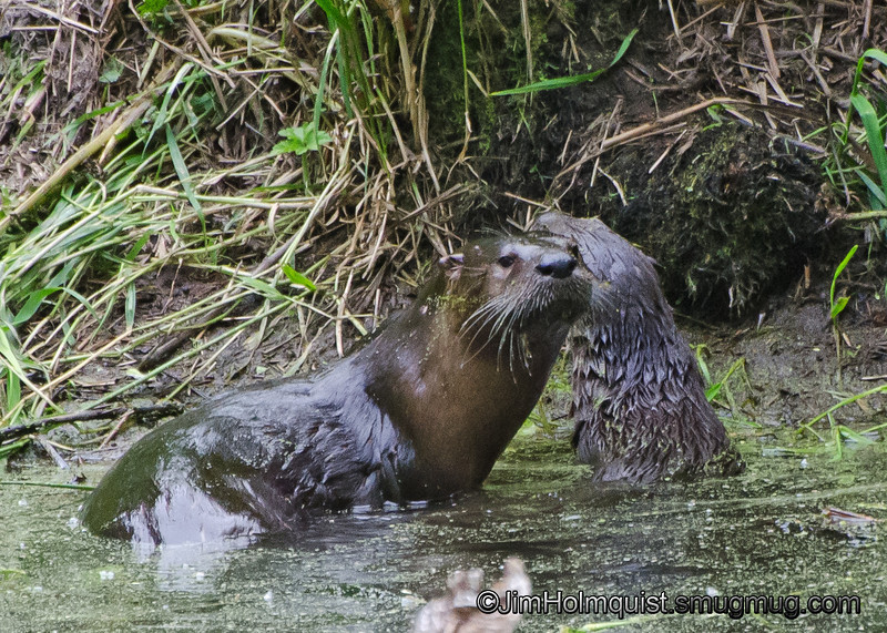 River Otter and baby - Nisqually Wildlife Refuge near Olympia, Wa
