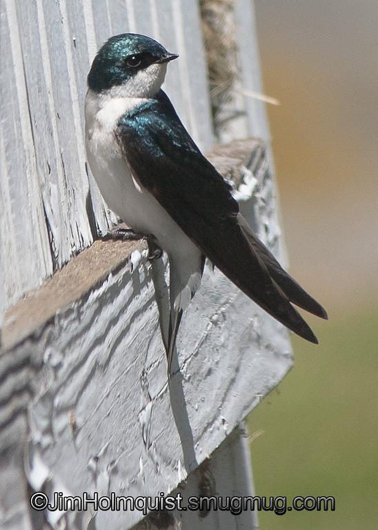 Tree Swallow - Nisqually Wildlife Refuge near Olympia, Wa