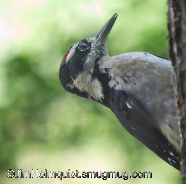 Hairy Woodpecker - Nisqually Wildlife Refuge near Olympia, Wa