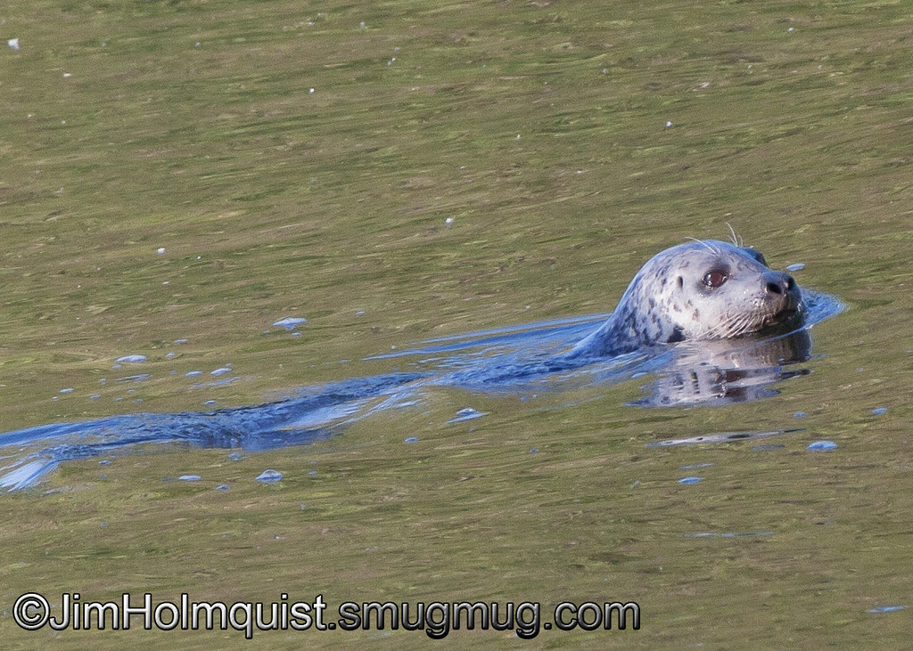 Harbor Seal - Nisqually Wildlife Refuge near Olympia, Wa