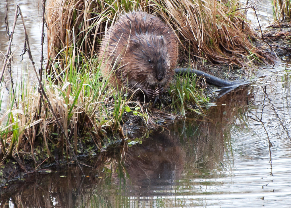 Muskrat - Nisqually Wildlife Refuge near Olympia, Wa