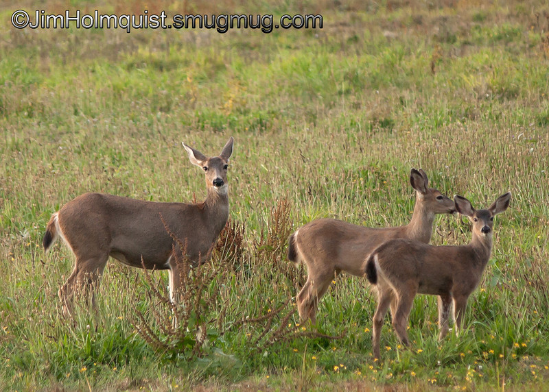 Deer - Doe with fawns at Nisqually Wildlife Refuge near Olympia, Wa