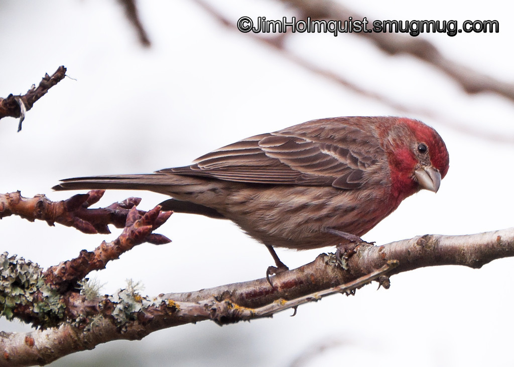 House Finch - near Olympia, Wa