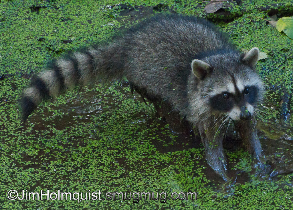 Racoon - Nisqually Wildlife Refuge near Olympia, Wa