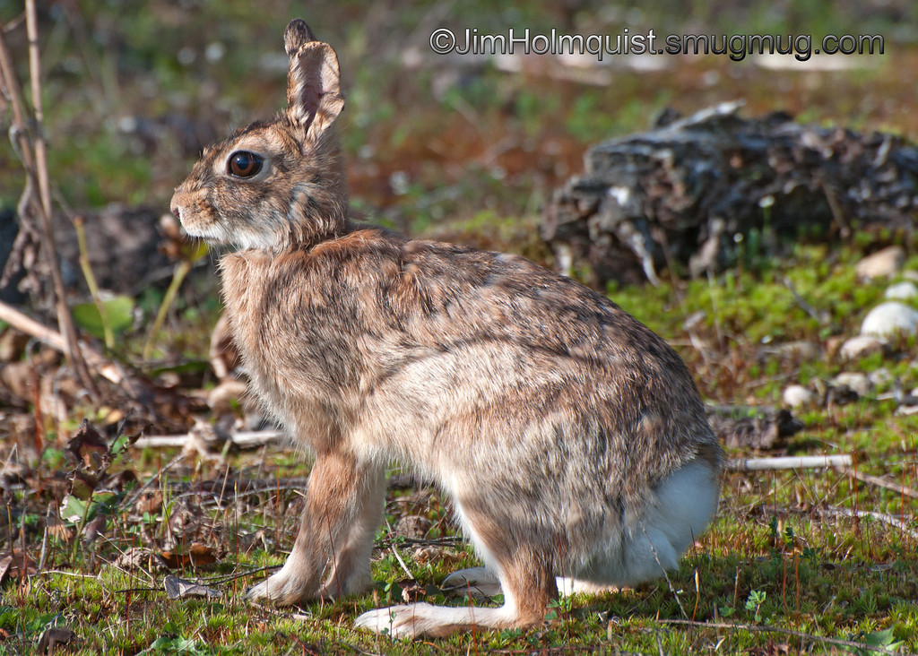 Cotton-tail Rabbit - near Olympia, Wa