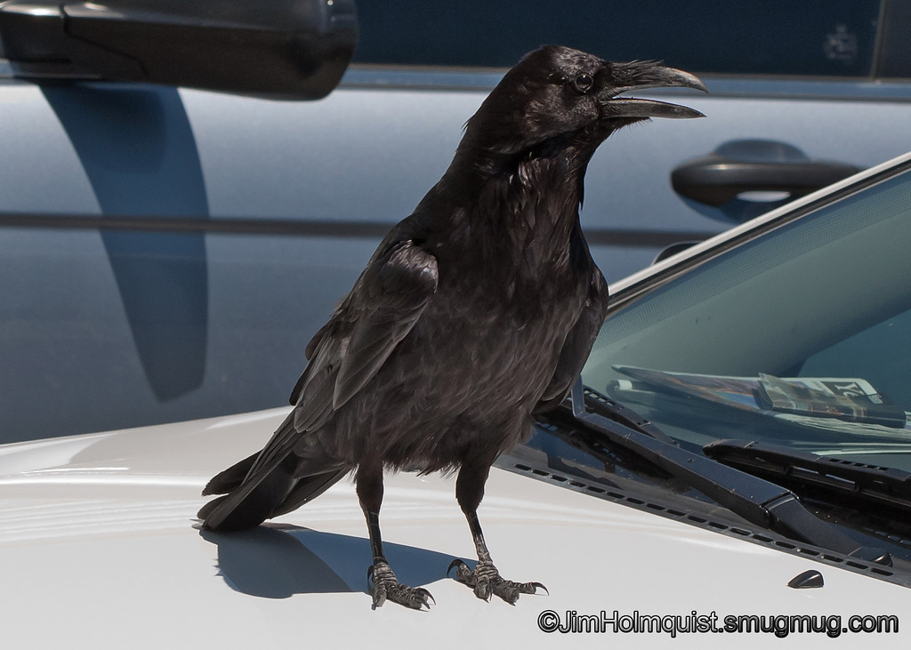 Common Raven - in Yellowstone Park