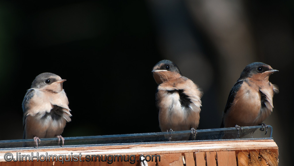 Barn Swallow - near Olympia, Wa