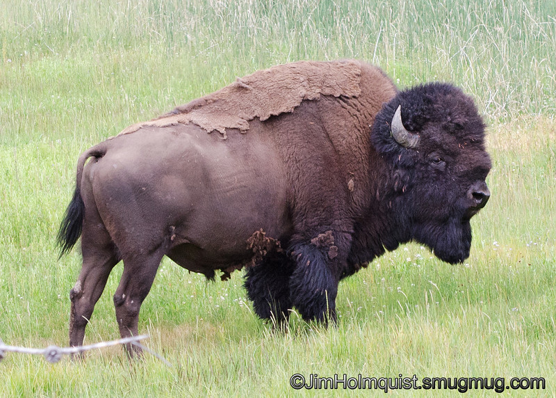 American Bison - Yellowstone National Park