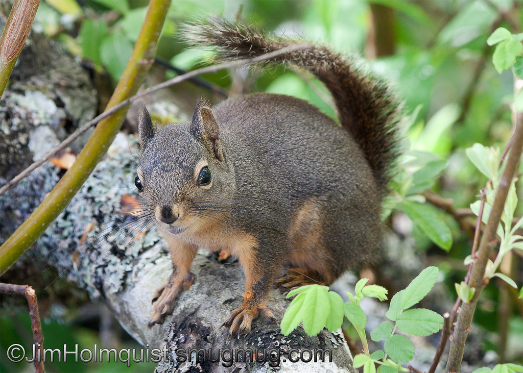 Douglas Squirrel - near Olympia, Wa