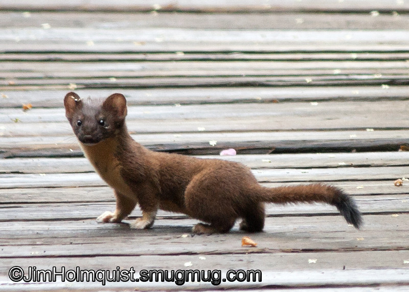 Long-tailed Weasel - Nisqually Wildlife Refuge near Olympia, Wa