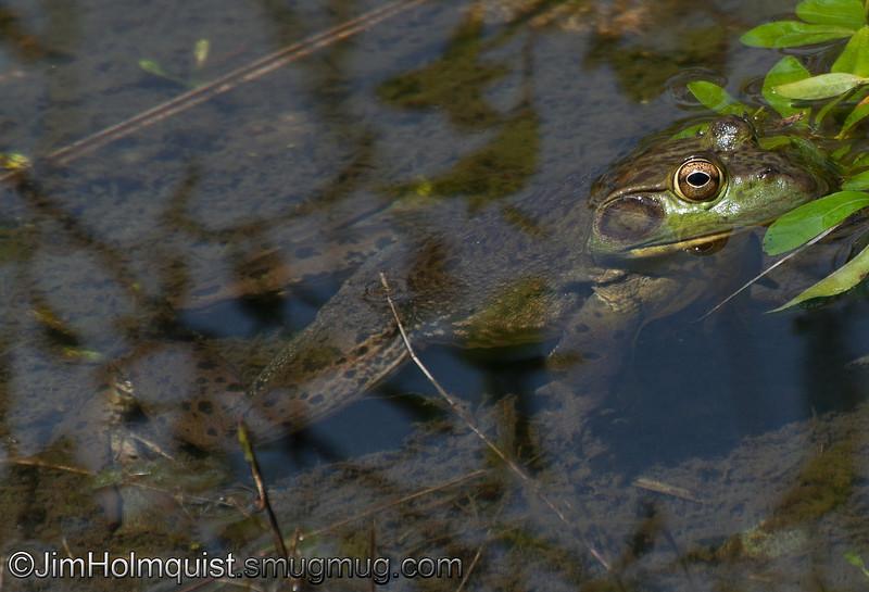 Bullfrog - near Olympia, Wa