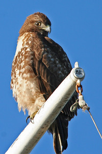 Hawk, Palo Alto Baylands (Duck Pond)