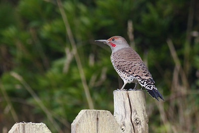 Male Northern Flicker - Red-shafted (Our regular winter visitor)