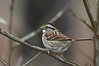 Jones Forest near Conroe, Tx , 2-23-08, White-throated Sparrow from 15 feet