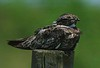 Common Nighthawk, Anahuac N W R , 8-4-07
