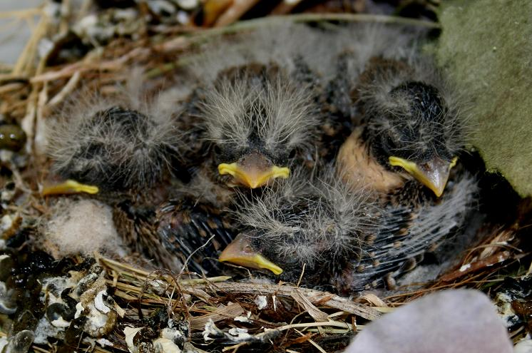 House Finch chicks, 6 days old, Bossier City, La