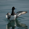 Scaup-Greater