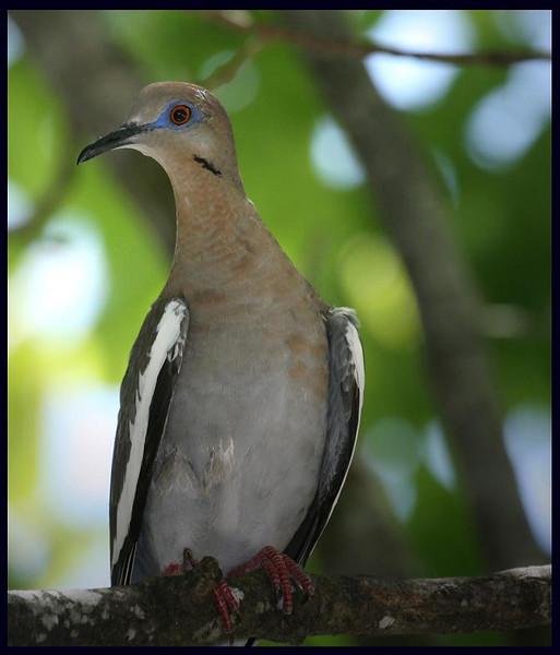 zzIMG_7136 White-winged Dove, 6-7-08