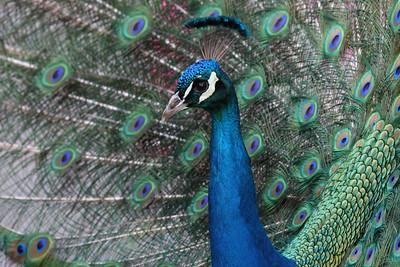 Peacock, San Diego Zoo
