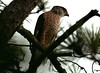 Cooper's Hawk in bad light. Thanks to Wayne Wendel for taking me right to it. May 27, 2009