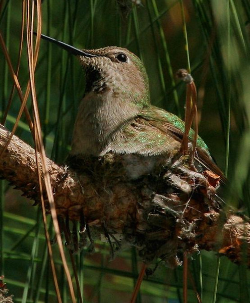 This Hummingbird was photographed in Sunnyvale, Calif. in March 2007. It was sitting on a nest. I came back the next day to shoot more photos and the nest was so small I could not find it without the bird on it!