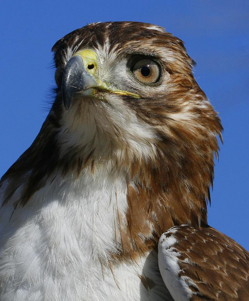 Young Red-tailed Hawk, female