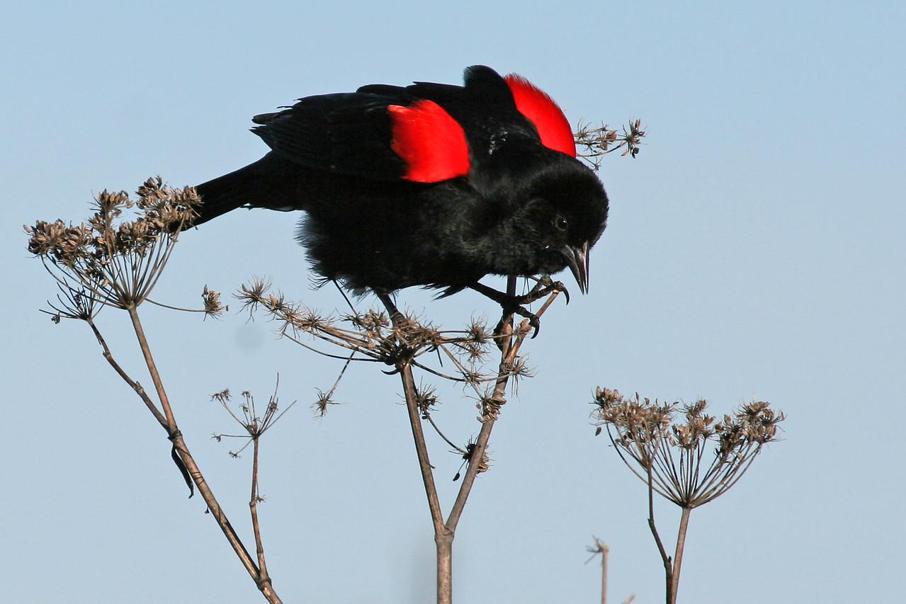 Red-winged blackbird, Palo Alto Baylands (Duck Pond)