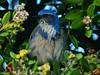 A Western Scrub Jay in a bush in Monterrey, Calif., near the Aquarium.