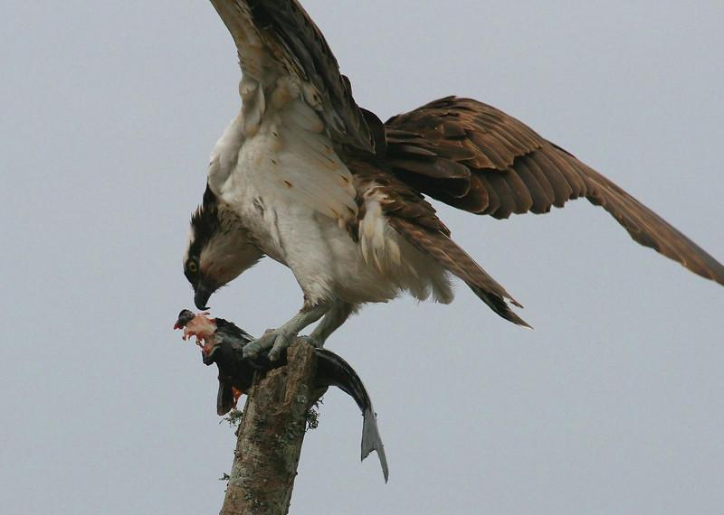 Osprey with Blue Catfish, Sheldon Lake Texas 12-27-08.