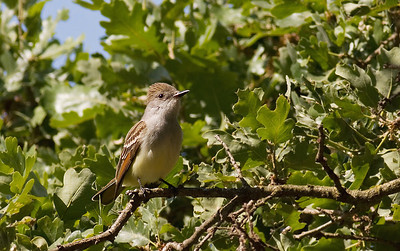 Ash-Throated Flycatcher  400mm f5.6L