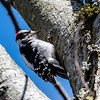 Downy Woodpecker-4631