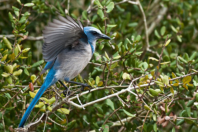 Florida Scrub Jay Merritt Island National Wildlife Refuge Merritt Island, Florida © 2013