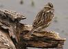 Savannah Sparrow, Brazos Bend State Park, 1-27-09,