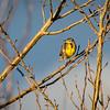 Western Meadowlark-2516