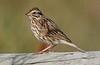 Savannah Sparrow, Brazoria NWR, 3-15-08