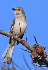 Mockingbird 400mm f5.6L