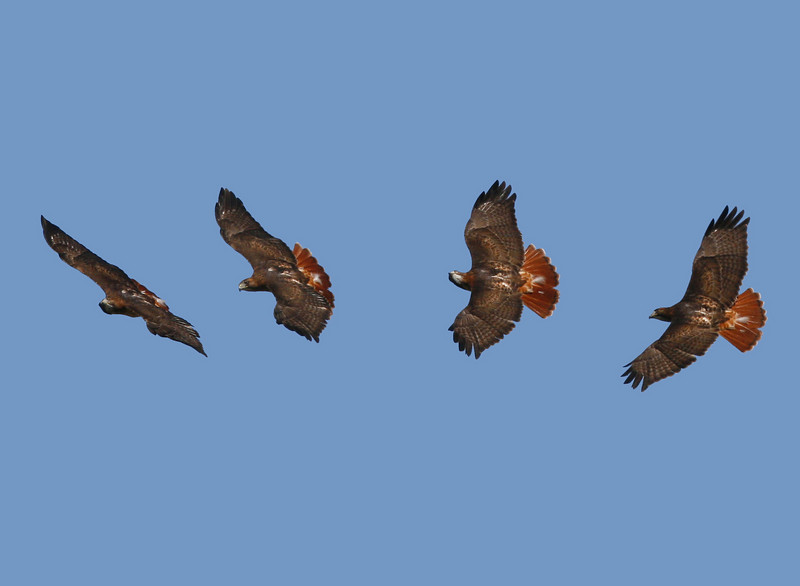 Composite of turning Red-tailed Hawk