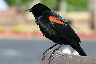 Red-winged blackbird, Palo Alto Baylands (Duck Pond)
