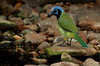 z_MG_0202 SMALL FILE Green Jay, Laguna Atascosa NWR, 9-6-09