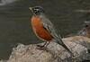 Robin, Brazos Bend, 2-19-07 copy