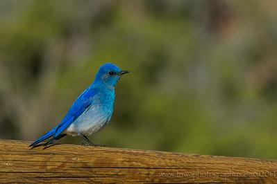 Mountain Bluebird Arches National Park Utah © 2014