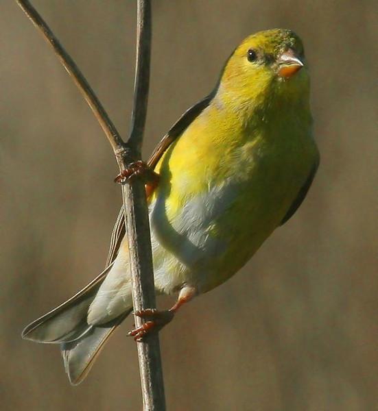 American Goldfinch, Point Lobos, Calif , 3-07