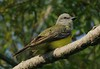 Couch's Kingbird, Brownsville, Texas, 4-21-07