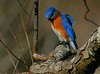 Eastern Bluebird in high wind, Brazos Bend S P  12-31-06