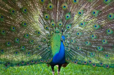 Peacock Crandon Gardens Key Biscayne,  Florida © 2009
