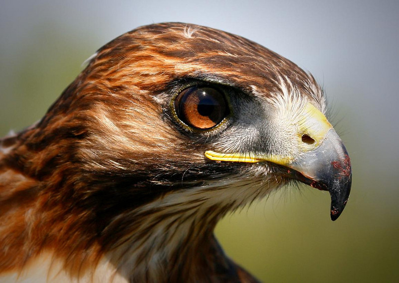 Mature Red-tailed hawk