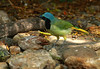 Green Jay showing its colors, Laguna Atascosa NWR, 9-6-09, far south Texas coast.