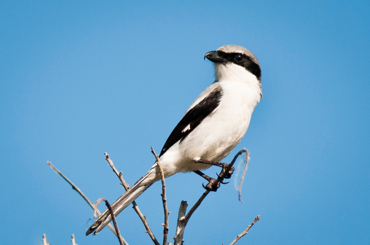 Loggerhead Shrike Wellington Environmental Preserve @ Marjory Stoneman Douglas Everglades Habitat Wellington, Florida © 2011