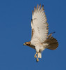 Red-tailed Hawk, 1-7-09, Grand Prairie, Texas