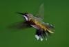 Ruby-throated Hummingbird, Smith Point, Texas 9-22-07